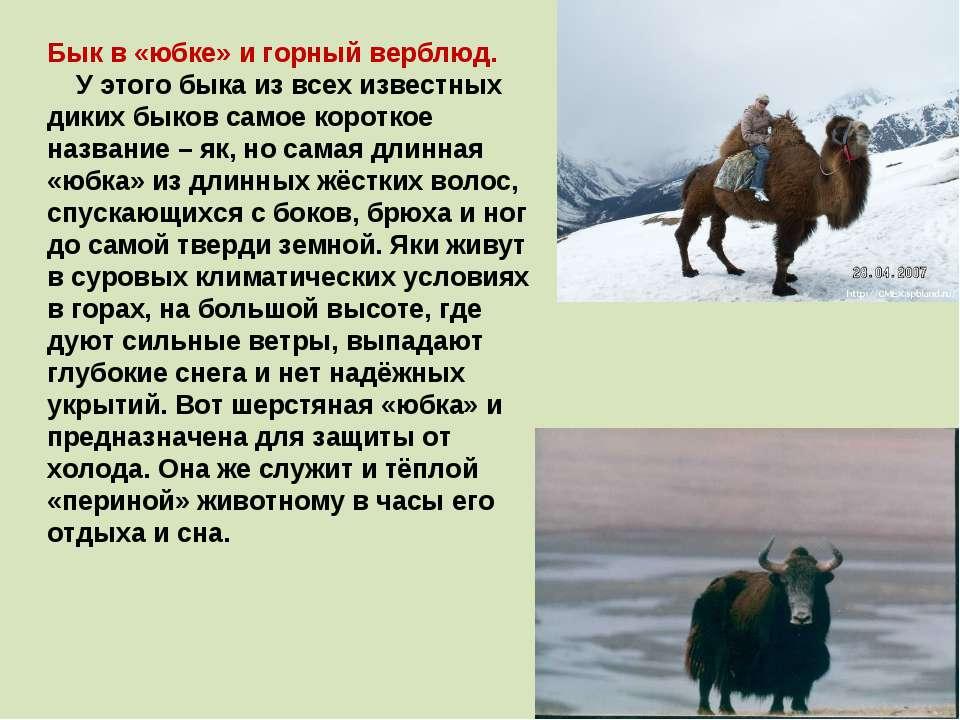 Бык в «юбке» и горный верблюд. У этого быка из всех известных диких быков сам...