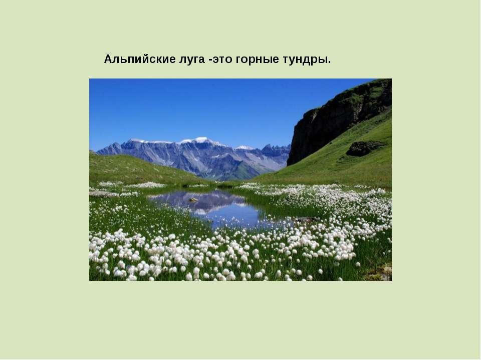 Альпийские луга -это горные тундры.