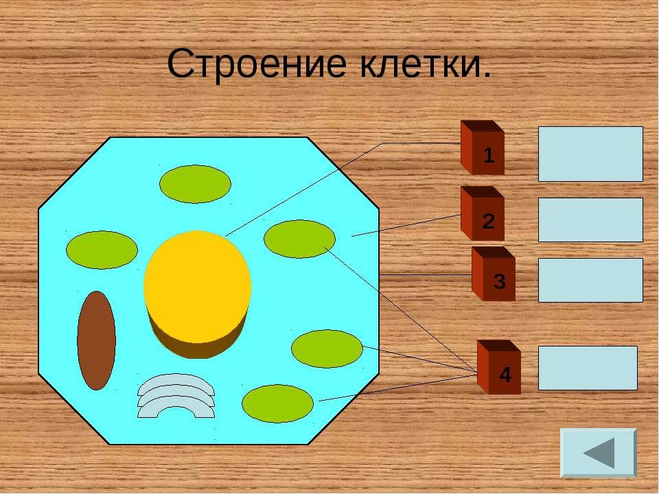 Строение клетки. 1 ЯДРО 4 2 Цитоплазма Оболочка хлоропласты 3