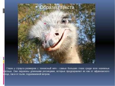Глаза у страуса размером с теннисный мяч - самые большие глаза среди всех наз...
