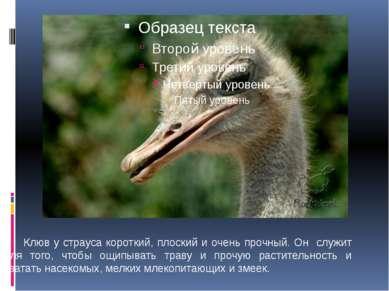 Клюв у страуса короткий, плоский и очень прочный. Он служит для того, чтобы о...