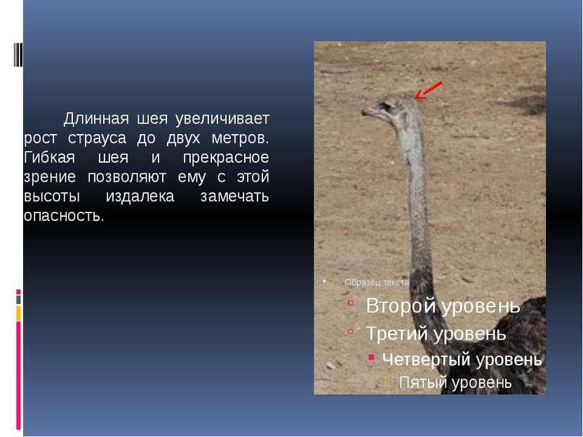 Длинная шея увеличивает рост страуса до двух метров. Гибкая шея и прекрасное ...