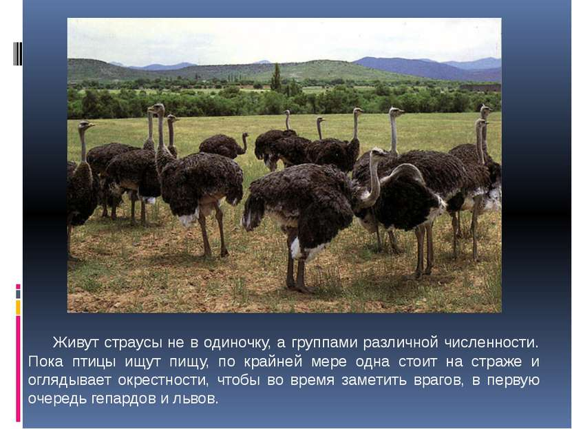 Живут страусы не в одиночку, а группами различной численности. Пока птицы ищу...