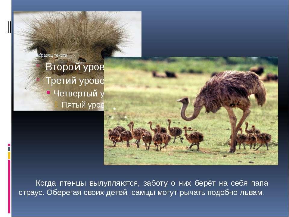 Когда птенцы вылупляются, заботу о них берёт на себя папа страус. Оберегая св...