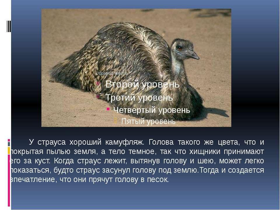 У страуса хороший камуфляж. Голова такого же цвета, что и покрытая пылью земл...