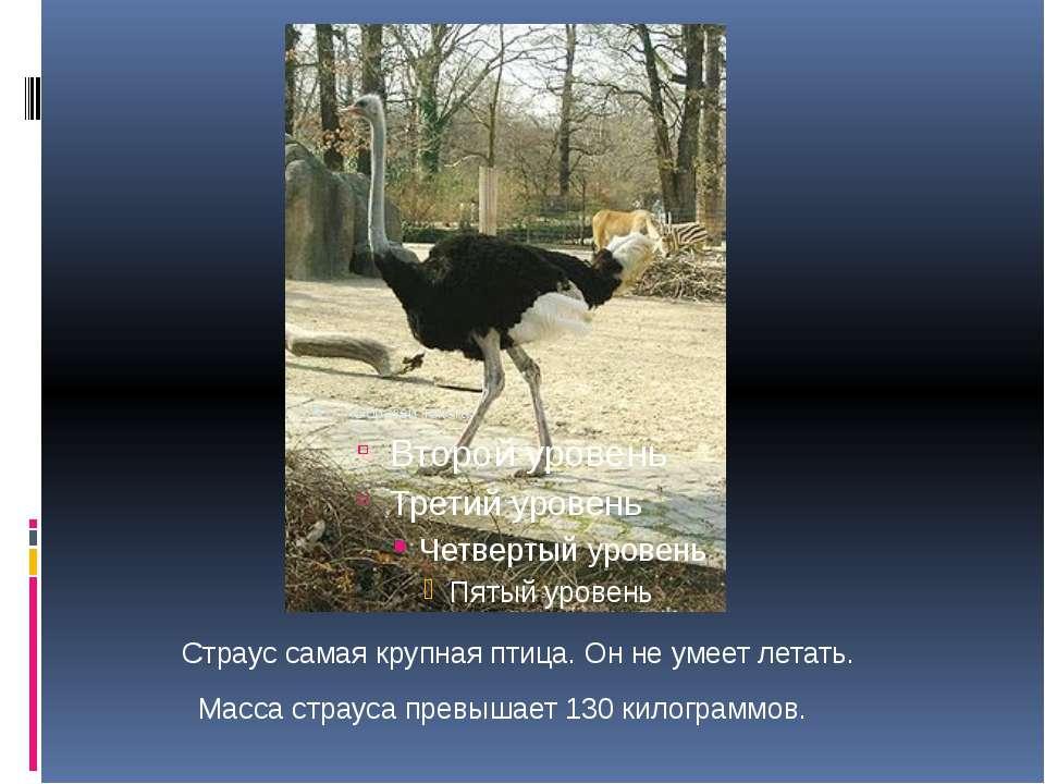 Страус самая крупная птица. Он не умеет летать. Масса страуса превышает 130 к...