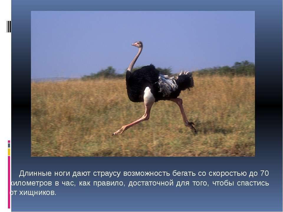 Длинные ноги дают страусу возможность бегать со скоростью до 70 километров в ...