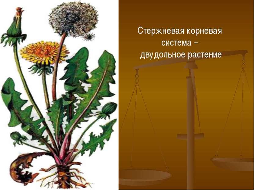 Стержневая корневая система – двудольное растение