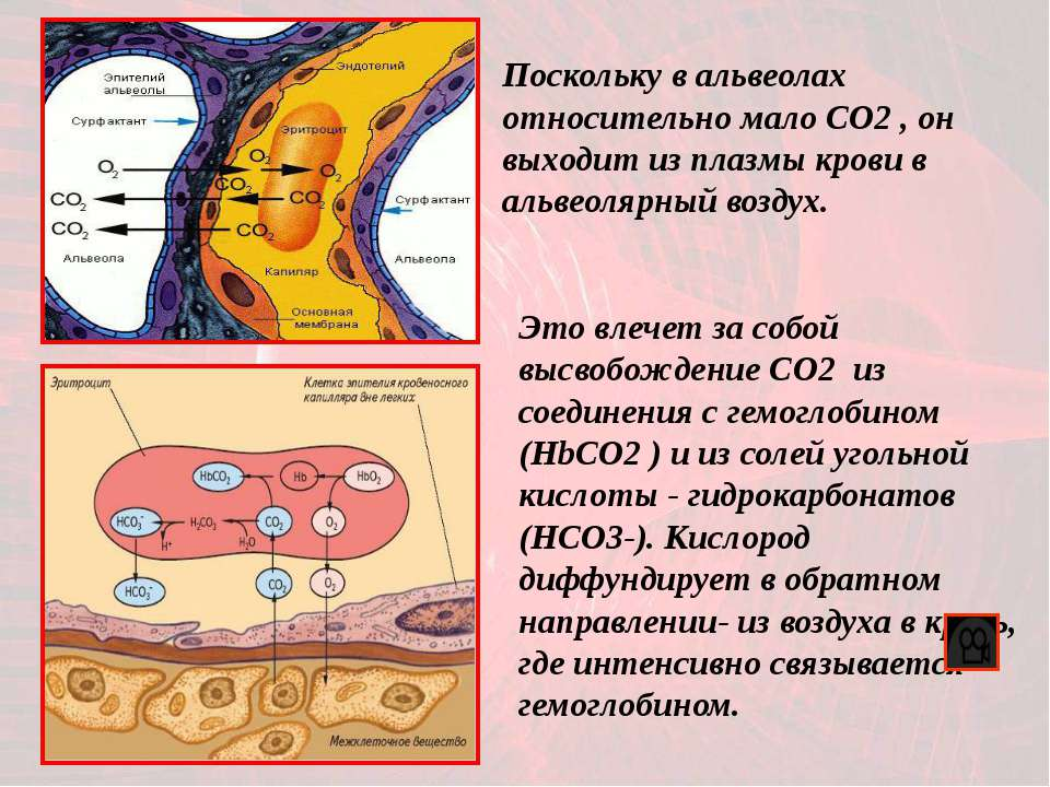 Это влечет за собой высвобождение CO2 из соединения с гемоглобином (HbСO2 ) и...