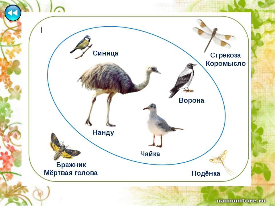 Гинета - млекопитающее семейства виверровые отряд хищные (к этому же семейств...