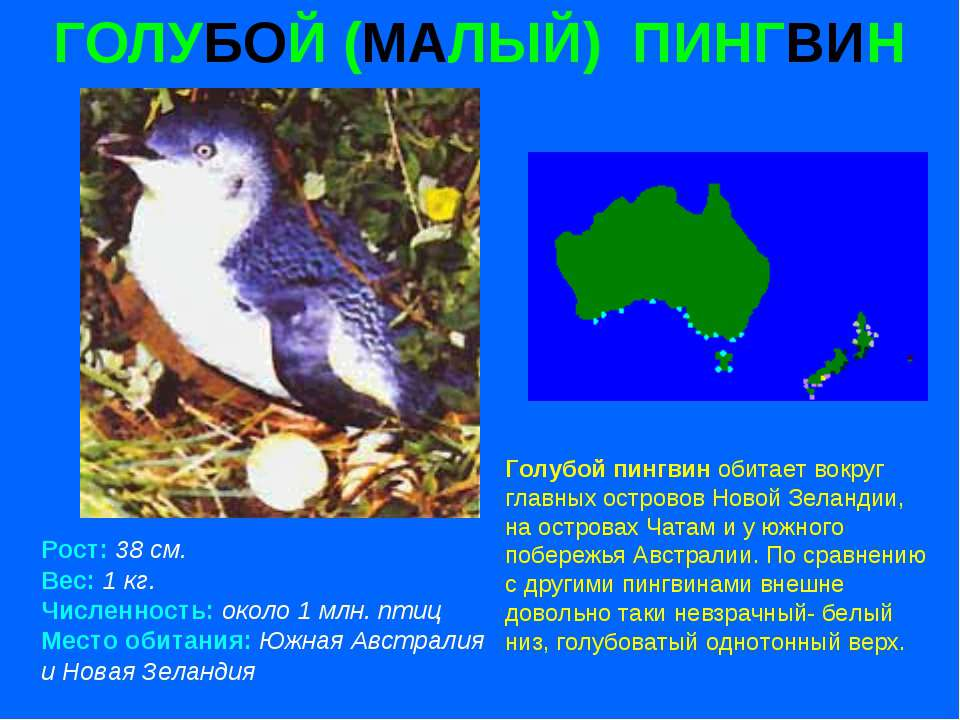 ГОЛУБОЙ (МАЛЫЙ) ПИНГВИН Рост: 38 см. Вес: 1 кг. Численность: около 1 млн. пти...
