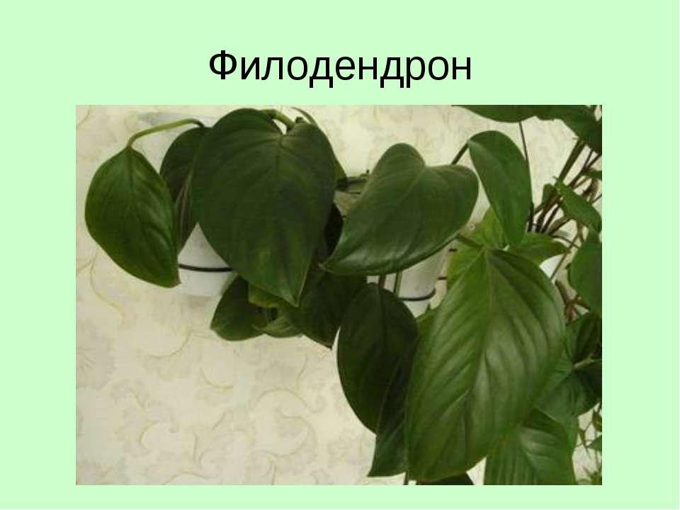 Филодендрон