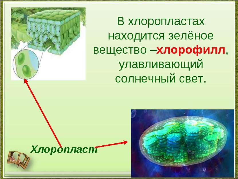 Хлоропласт В хлоропластах находится зелёное вещество –хлорофилл, улавливающий...