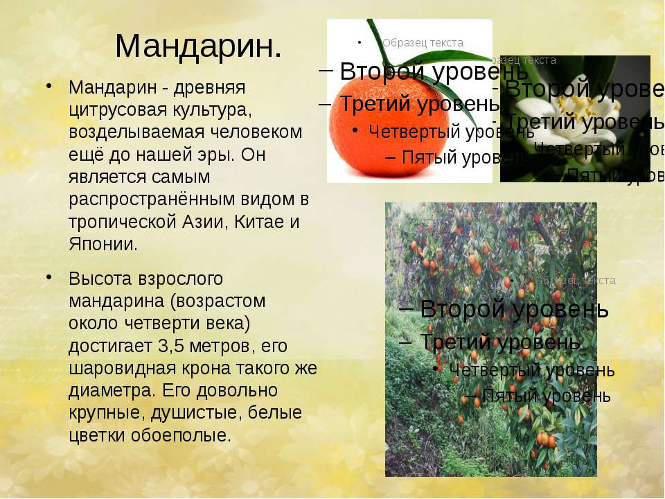 Мандарин. Мандарин - древняя цитрусовая культура, возделываемая человеком ещё...