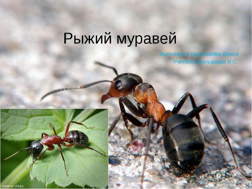 Рыжий муравей Выполнила Братышева Диана Учитель:Братышева Н.С.