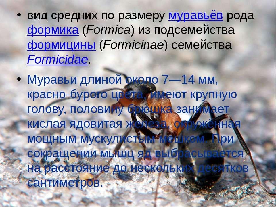 вид средних по размеру муравьёв рода формика (Formica) из подсемейства формиц...