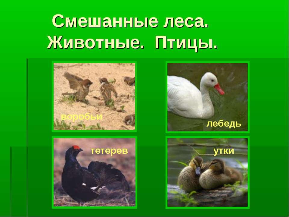Смешанные леса. Животные. Птицы. воробьи лебедь тетерев утки