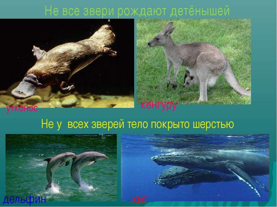 Не все звери рождают детёнышей утконос кенгуру Не у всех зверей тело покрыто ...