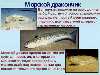 Морской дракончик Вытянутая, похожая на змею донная рыба. Чувствуя опасность,...