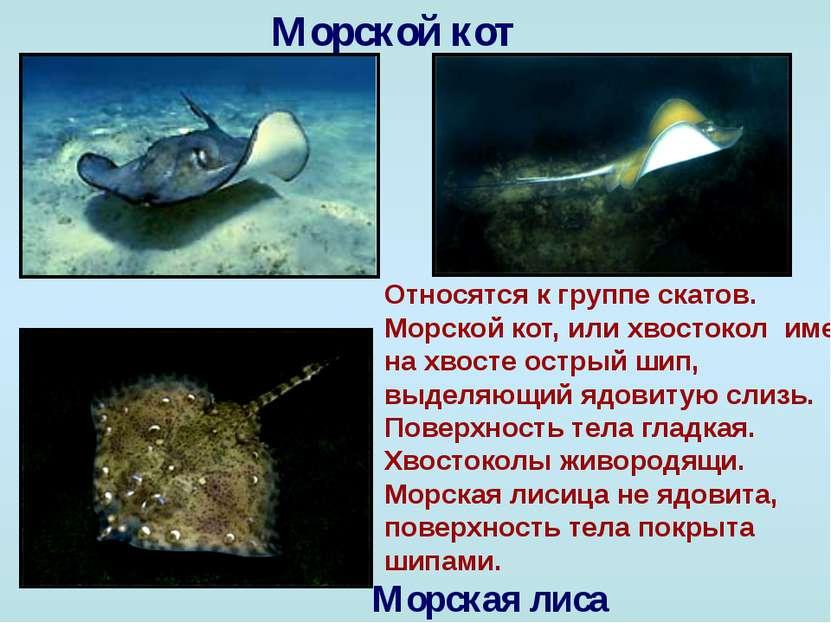 Морской кот Морская лиса Относятся к группе скатов. Морской кот, или хвостоко...