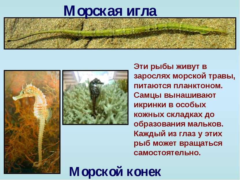 Морская игла Морской конек Эти рыбы живут в зарослях морской травы, питаются ...
