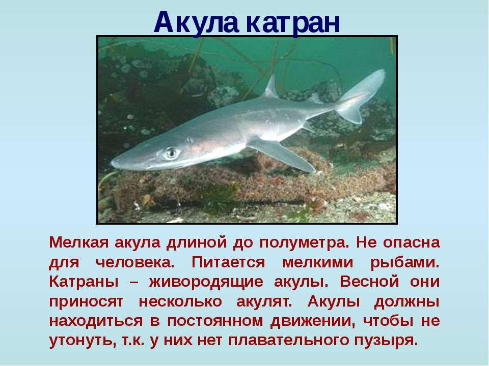 Акула катран Мелкая акула длиной до полуметра. Не опасна для человека. Питает...