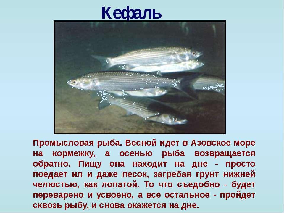Кефаль Промысловая рыба. Весной идет в Азовское море на кормежку, а осенью ры...