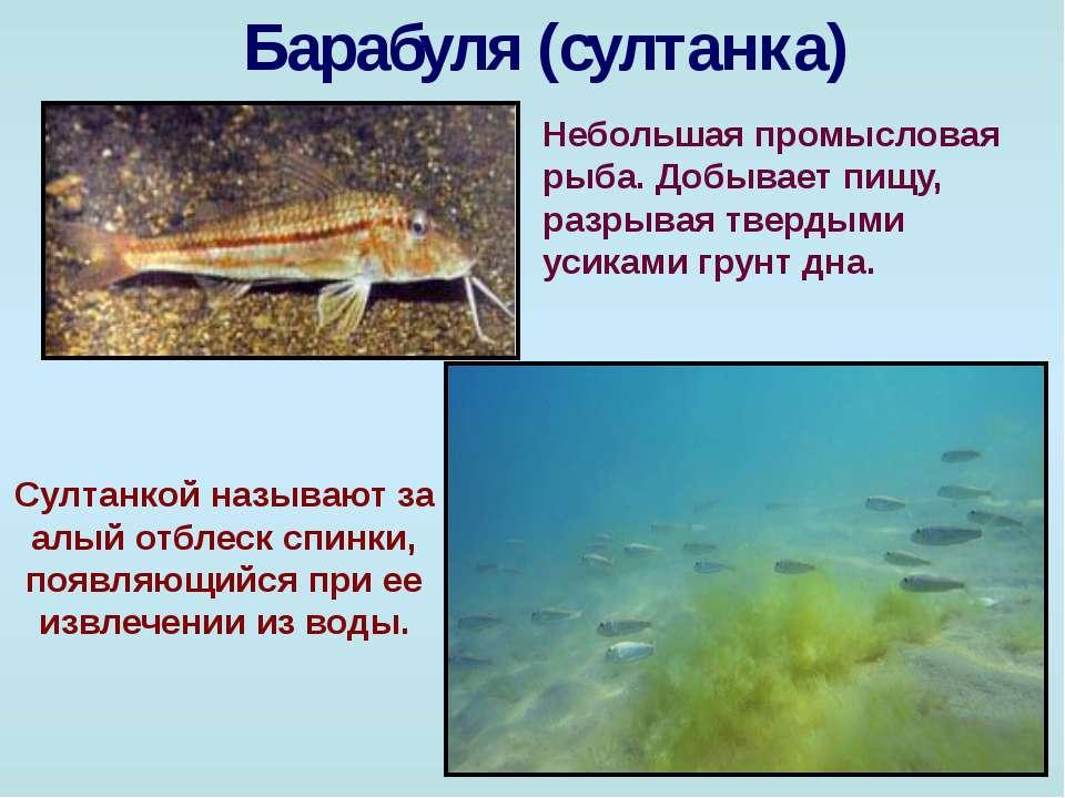 Барабуля (султанка) Небольшая промысловая рыба. Добывает пищу, разрывая тверд...