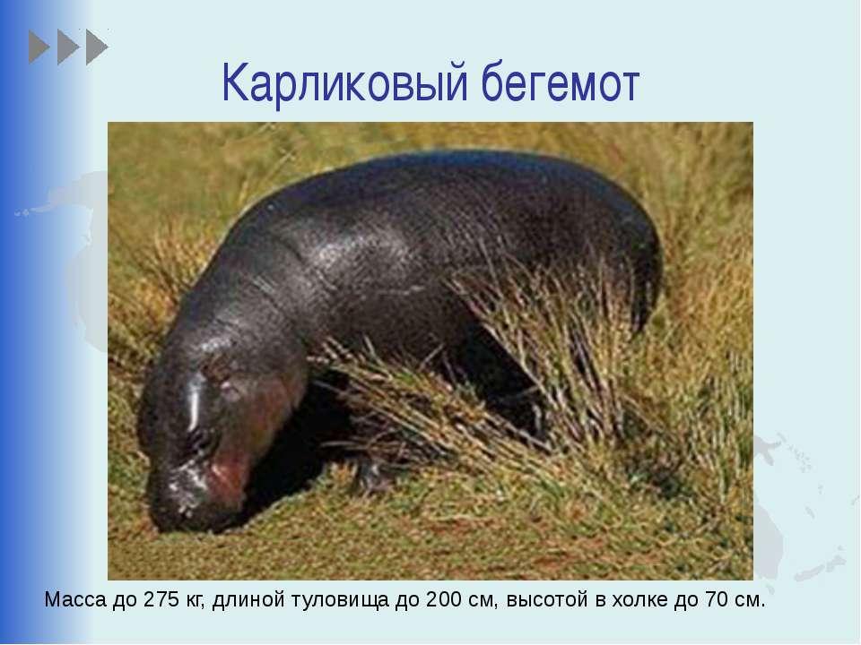 Карликовый бегемот Масса до 275 кг, длиной туловища до 200 см, высотой в холк...
