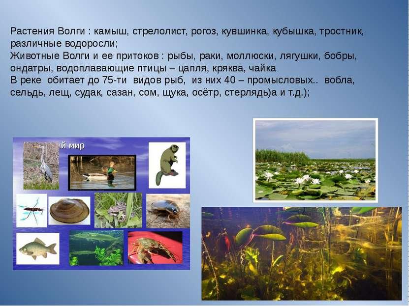 Растения Волги : камыш, стрелолист, рогоз, кувшинка, кубышка, тростник, раз...