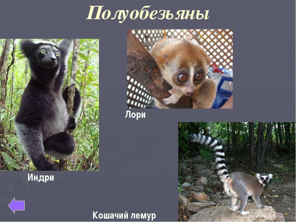 Узконосые обезьяны Мартышка Мандрил Павиан