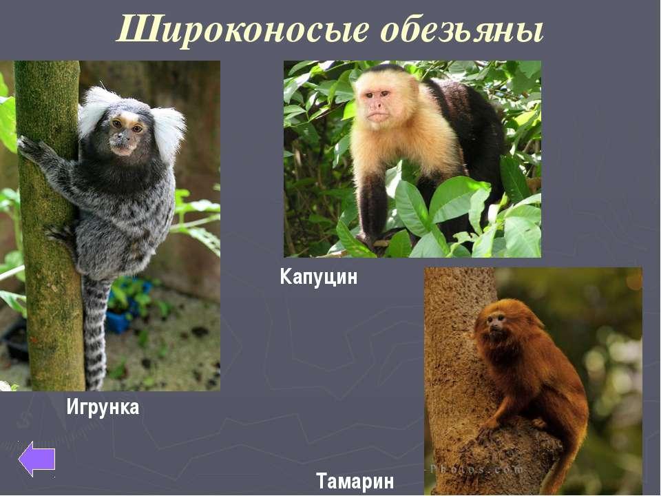 Настоящие человекообразные обезьяны Шимпанзе Орангутан Горилла