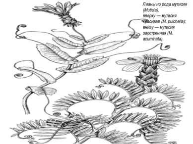 Лианы из рода мутисия (Mutisia). вверху — мутисия красивая (М. pulchella); вн...