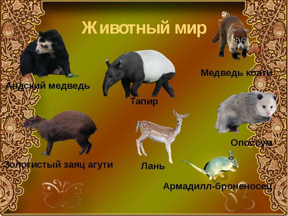 Животный мир Андский медведь Медведь коати Тапир Золотистый заяц агути Опоссу...