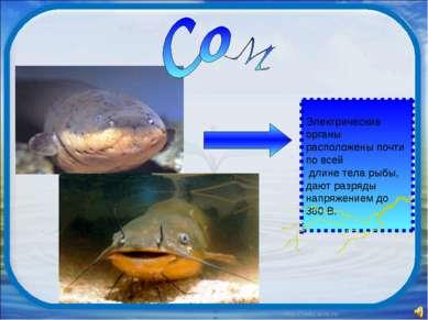 Электрические органы расположены почти по всей длине тела рыбы, дают разряды ...
