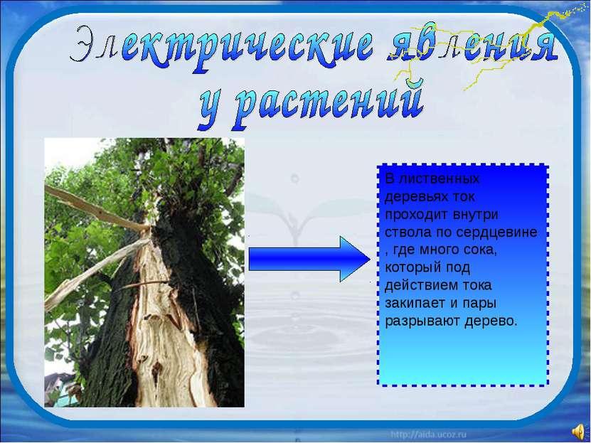 В лиственных деревьях ток проходит внутри ствола по сердцевине , где много со...