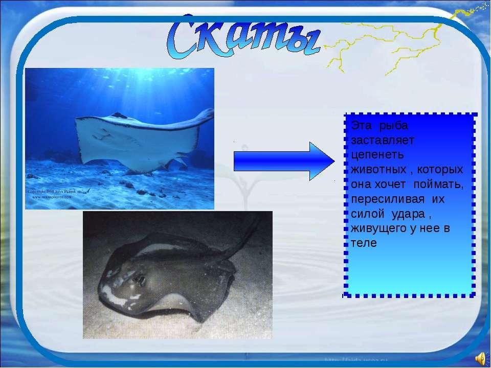 Эта рыба заставляет цепенеть животных , которых она хочет поймать, пересилива...