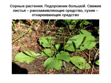 Сорные растения. Подорожник большой. Свежие листья – ранозаживляющее средство...