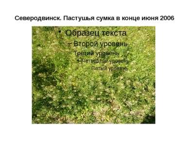Северодвинск. Пастушья сумка в конце июня 2006