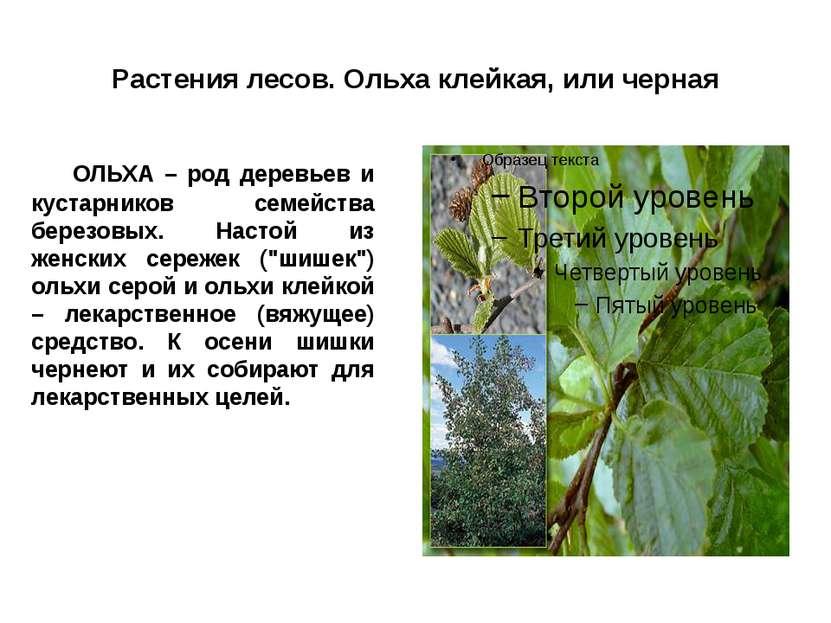 Растения лесов. Ольха клейкая, или черная ОЛЬХА – род деревьев и кустарников ...