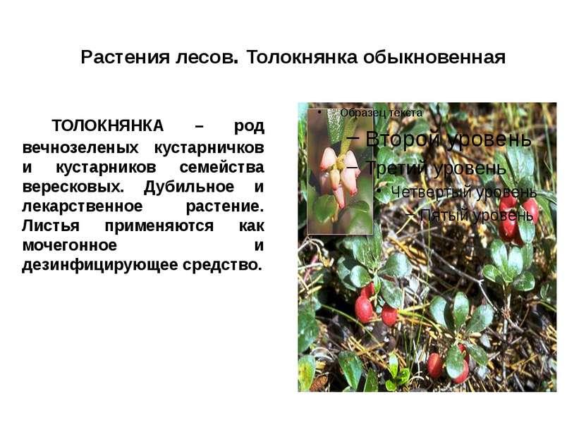 Растения лесов. Толокнянка обыкновенная ТОЛОКНЯНКА – род вечнозеленых кустарн...