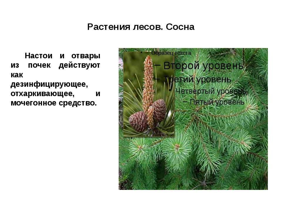 Растения лесов. Сосна Настои и отвары из почек действуют как дезинфицирующее,...