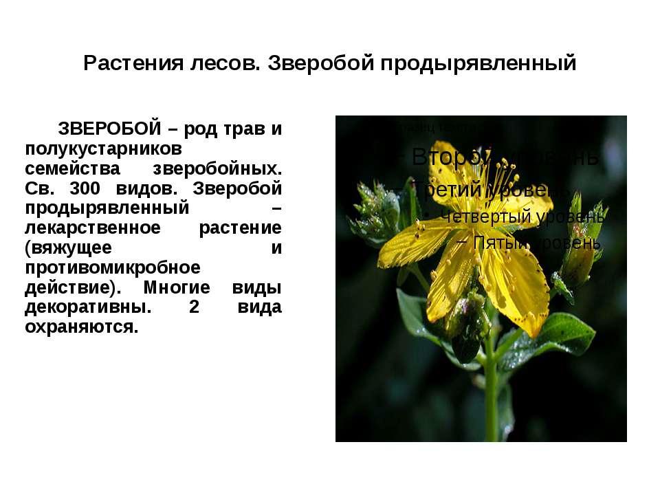 Растения лесов. Зверобой продырявленный ЗВЕРОБОЙ – род трав и полукустарников...