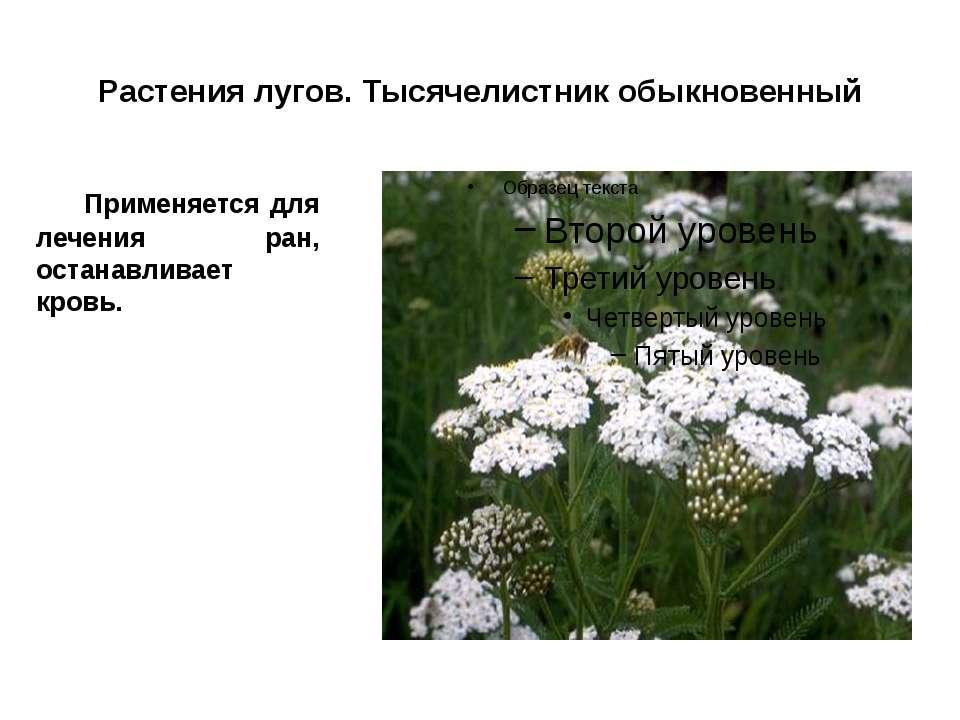 Растения лугов. Тысячелистник обыкновенный Применяется для лечения ран, остан...