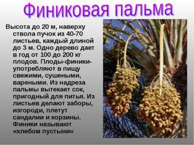 Высота до 20 м, наверху ствола пучок из 40-70 листьев, каждый длиной до 3 м. ...