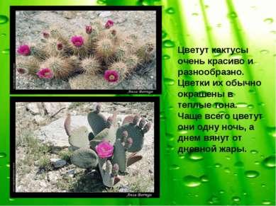 Цветут кактусы очень красиво и разнообразно. Цветки их обычно окрашены в тепл...