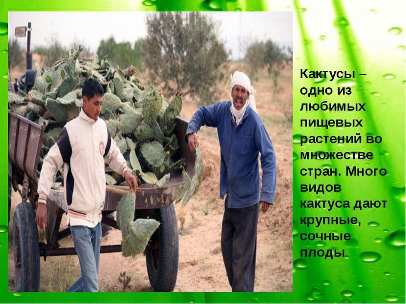 Кактусы – одно из любимых пищевых растений во множестве стран. Много видов ка...