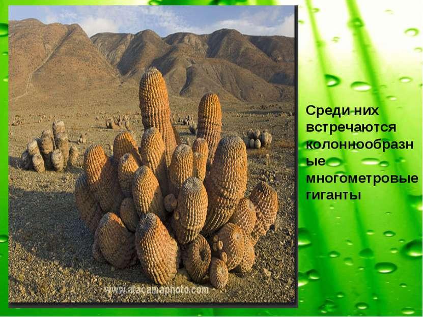 Среди них встречаются колоннообразные многометровые гиганты