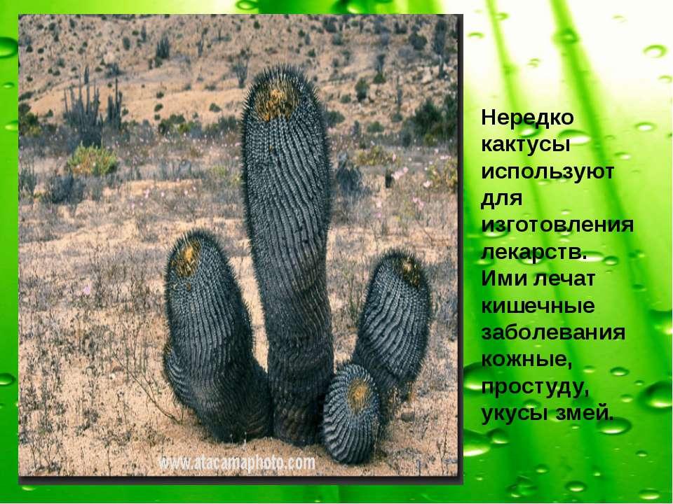 Нередко кактусы используют для изготовления лекарств. Ими лечат кишечные забо...