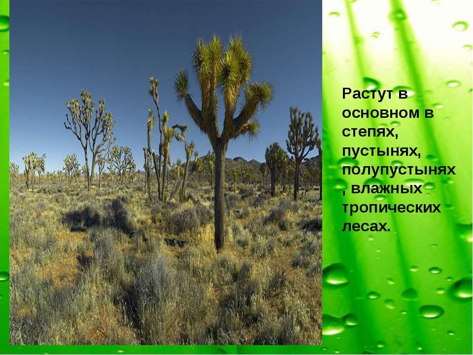 Растут в основном в степях, пустынях, полупустынях, влажных тропических лесах.